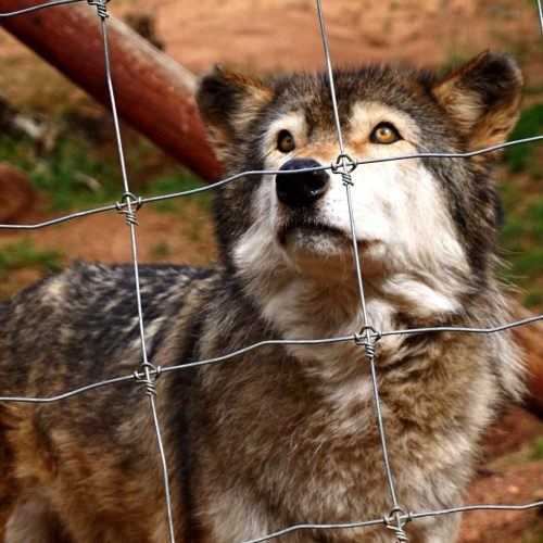 Caged Wolf 2